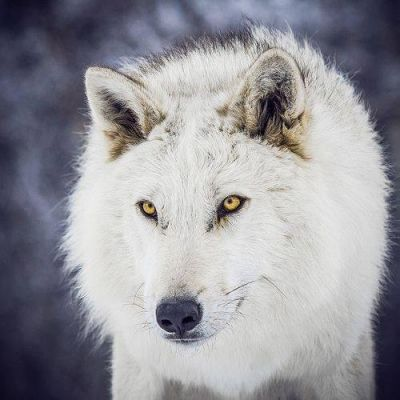 By wolf